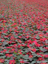 Poinsettias??!!!  Wha-a-a-at?  It's a bit early, isn't it?1